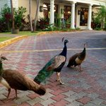 Beautiful peacocks that welcomed us on arrival