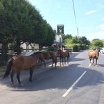 New Forest Ponies stop by for a pint