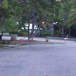 Flamingo's on the resort