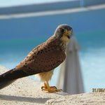 Peregrine Falcon landed on opposite balcony