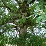 Le chêne à la ramure impresssionnante