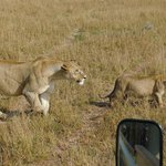 Lions up-close and personal