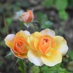 Roses de Juillet/ July roses