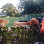 Highland Cattle at cottage!