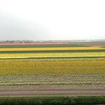 Campos de tulipas, no inicio da florada