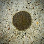 baby sand dollar washed up