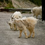 Mountain Goats on the side of the Skywalk licking the salt off the Road.