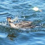 Grudge match-determined cormorant wants my pin fish!