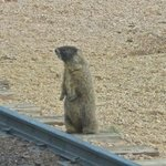 A marmot next to the railway track