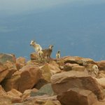 Rocky Mountain Bighorn Sheep at the summit of Pikes Peak
