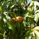 Персики, апельсины, оливки, авокадо, гранат... всё растёт на территории