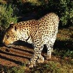 Leopardo a spasso