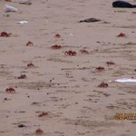 The Red Crabs...