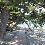 諸口神社境内松巨木