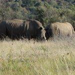 Rinoceronti bianchi al pascolo