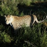 Leopardo a caccia