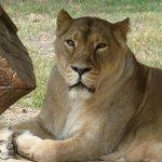 Львица-царица!