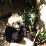 Pandas are lazy animals...