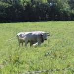 Ancient White Park cattle in pasture.