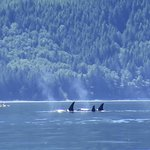 Family of Orcas