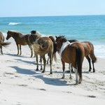 Wild ponies on the beach in Assateague State Park Campground.