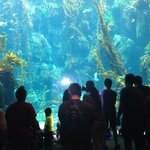 floor to ceiling viewing of the kelp tank