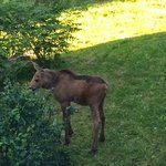 Baby moose in the backyard looking for her mother