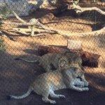Olha q fofo o casal de leões!
