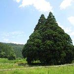 Tall Cedar Tree in Kosugi