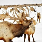 an elk bugling- very cool sound