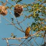 oiseau de la Réunion, un bellier