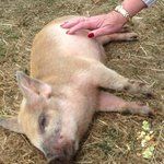 Scratched into a coma! Such a happy piggy