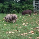 Two little piggies roaming freely