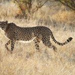 Magnifique guépard