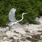 Egret taking off from the beach