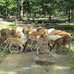 Animals chasing the wagon!