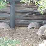 Sleeping tortoises