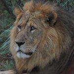 the beautiful lion