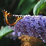 Small Tortoiseshell in garden