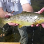 Fat, healthy Brown Trout