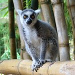 Ring-tailed lemur (young orphan)