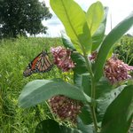 Monarch butterfly on milkweed in the arb