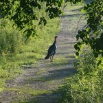 Wild turkeys abound