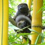 Eastern lesser (gray) bamboo lemur