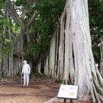 Edison's famous Banyan tree