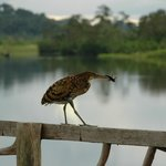 Tiger Heron (with its proud catch) on the pier.