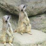 Meerkat Adorability