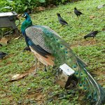 beautifull peacocks and hens in hotel grounds
