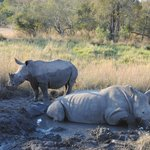 Rhinos in a mud bath