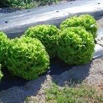 horta - alfaces